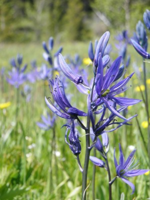 Hiking in the Bob Marshall Wilderness gives a chance to view wildflowers