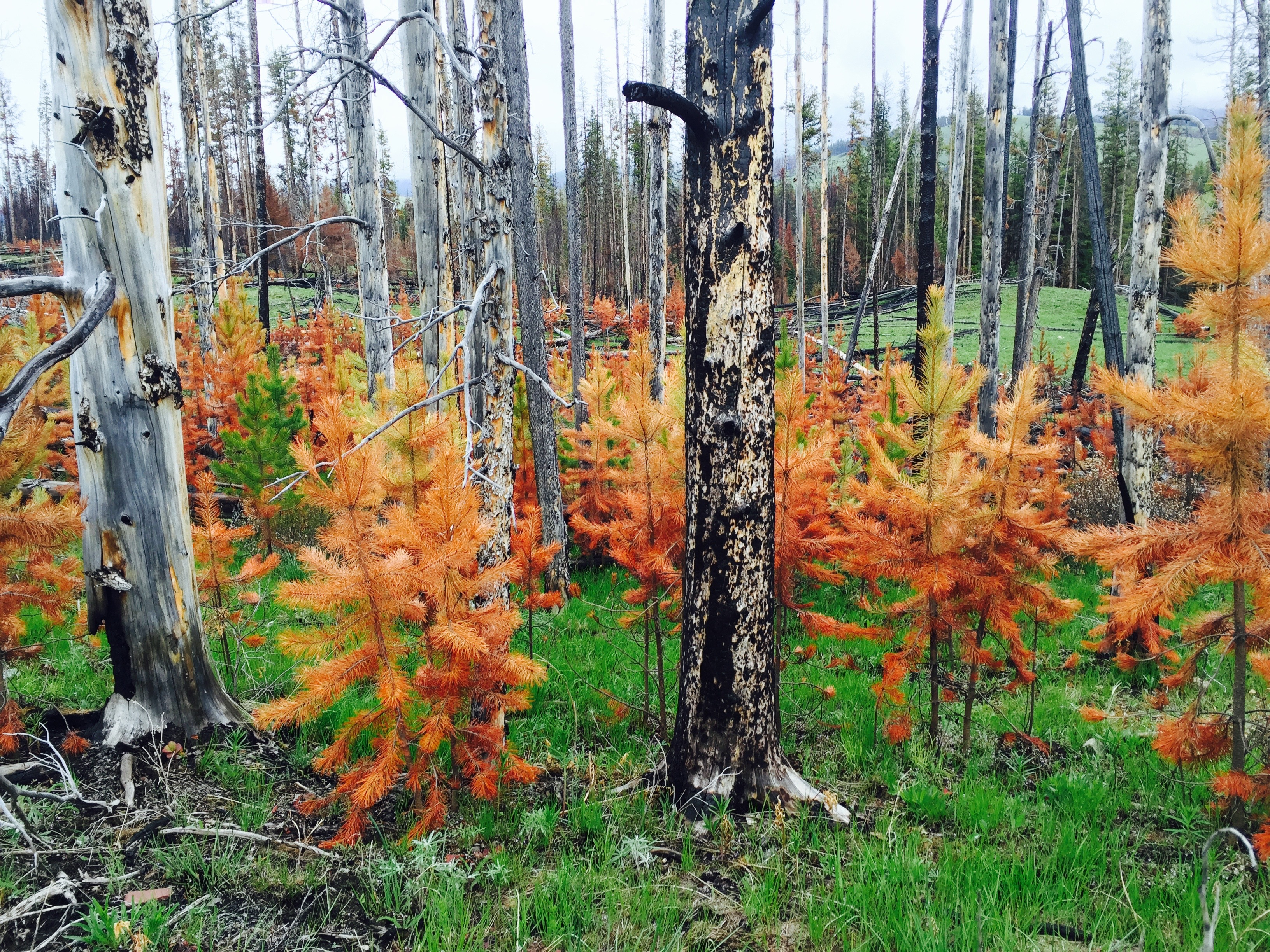 Fire Ecology in the North Fork of the Sun